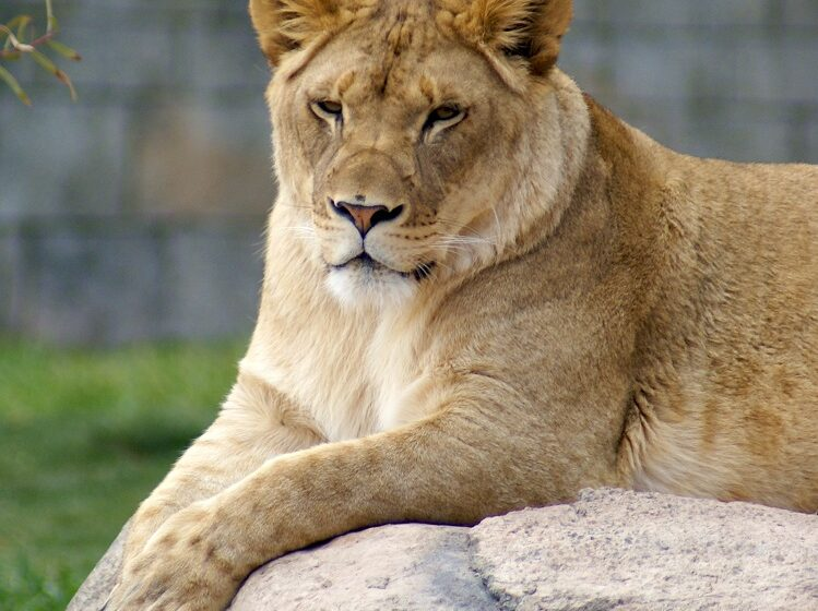 El Paso Zoo mourns death of Kalliope the Lioness