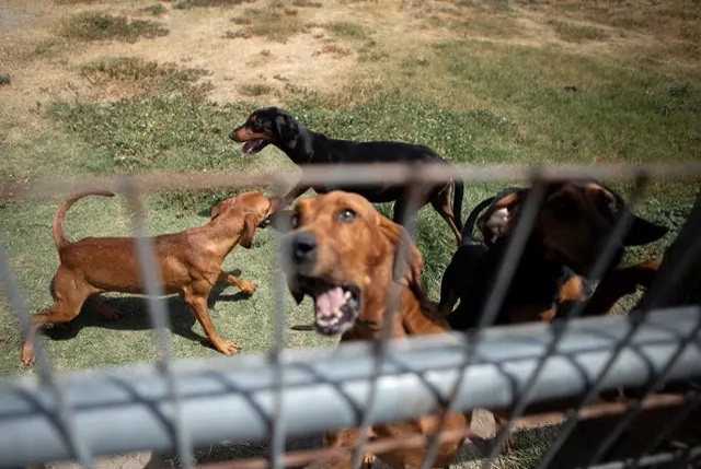Bloodhounds are held in a pen in Refugio on Aug. 21, 2019. Credit: Miguel Gutierrez Jr./The Texas Tribune